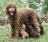 Standard Poodle with Puppies