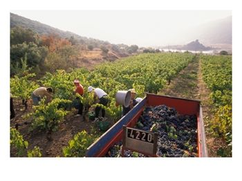 Picking Grapes, Languedoc, France